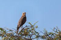 Juvenile pale chanting goshawk Namibia Africa wildlife