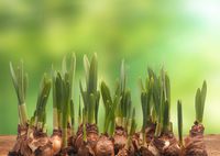 Spring background with Daffodil bulbs on a wooden table
