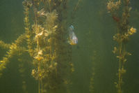Sunfish hidding in Myriophyllum spicatum