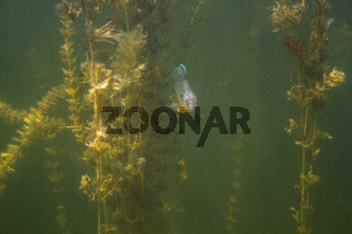 Sunfish hidding in Myriophyllum spicatum