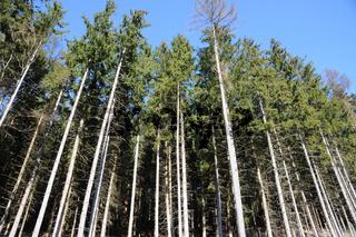 Picea abies, Waldfichte, Spruce
