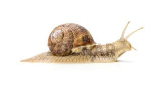 Burgundy snail on a white background