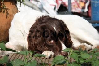 Very cute liver and white working type english springer spaniel