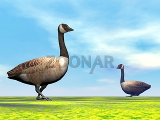 Canadian geese - 3D render