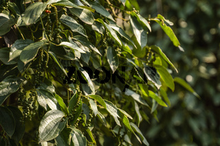 Black pepper plants growing on plantation in Asia. Ripe green peppers on a trees. Agriculture in tropical countries. Pepper on a trees before drying.