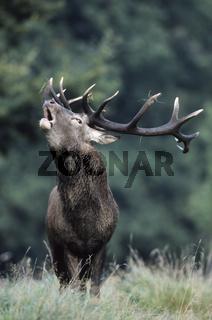 Roehrender Rothirsch auf einer Waldwiese - (Edelhirsch - Rotwild) / Roaring Red Deer stag on a forest meadow / Cervus elaphus