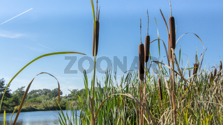 Pond with bullrush
