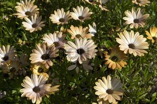Kapkoerbchen, Osteospermum, Springstar Cinnamon Orange