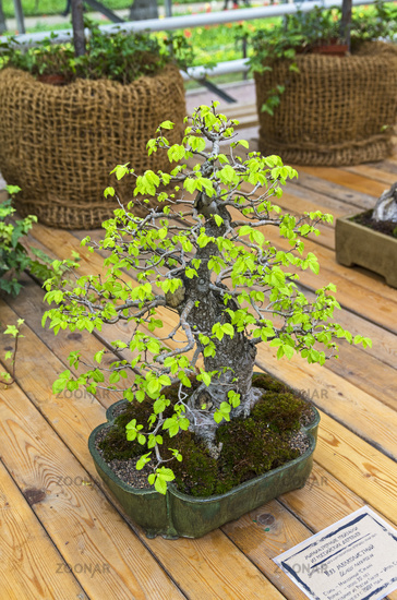 Chinese Elm (Ulmus parvifolia) - Bonsai in the style of