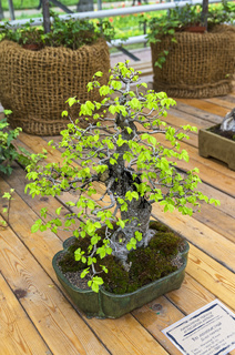 Chinese Elm (Ulmus parvifolia) - Bonsai in the style of 'Tilted'.