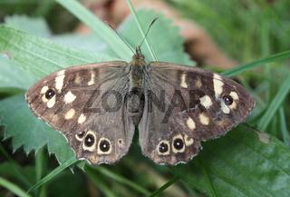 Schmetterling, Laubfalter  auf einem grünen Blatt