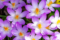Purple Crocus Blossoms