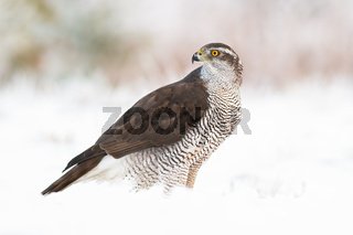 Northern goshawk, accipiter gentilis on snow in winter