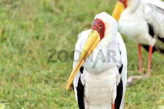 Nimmersatt Storch am Nakuru See, Kenia