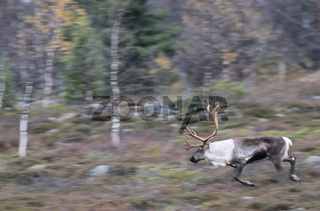 Rentierbulle in der Brunftzeit - (Eurasisches Tundraren - Ren) / Bull Reindeer in the rutting season - (Mountain Reindeer) / Rangifer tarandus - Rangifer tarandus (tarandus)