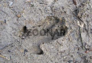 Wildschwein-Spur
