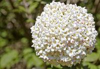 white fragrant Viburnum blossom