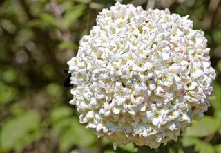 Blüten eines weißen Duftschneeballstrauches