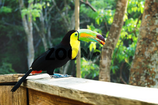 Keel-billed Toucan, Ramphastos sulfuratus, with a berry in Macaw Mountain Bird Park, Copan Ruinas, Honduras