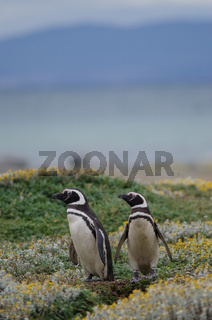 Magellanic penguins Spheniscus magellanicus in the Otway Sound and Penguin Reserve.