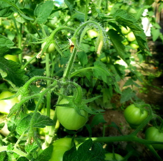 Young green tomatoes on a bush in a greenhouse