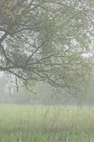 Willow in the swamp in the morning Normandy Calvados