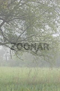 Weide im Sumpf morgens