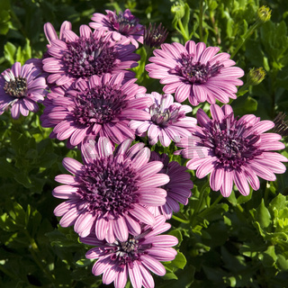 Kapkoerbchen, Osteospermum ecklonis,  Flower Power Double Purple