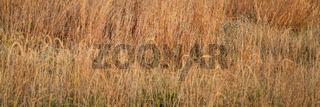 late summer grass in a prairie of Nebraska Sandhills