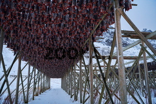 Air drying of Salmon fish on wooden structure at Scandinavian winter