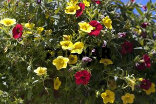 Petunie, Pitunia, Calibrachoa, Carillon
