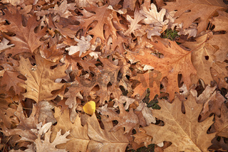 Autumn oak leaves background surface laying under feet