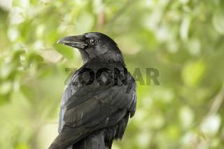 Rabenkrähe, Corvus corone, carrion crow,
