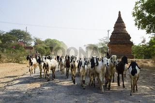 Ziegenherde, Bagan, Myanmar, Asien