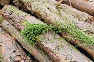 Holz und Blätter vom Mammutbaum