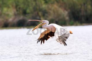Great White Pelicans, Ethiopia, Africa wildlife