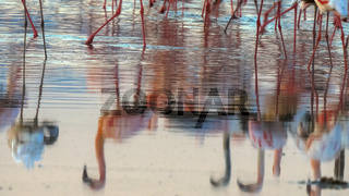 flamingo reflections on calm lake bogoria, kenya