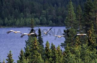 Eine Gruppe Kraniche fliegt ueber einen schwedischen Taigawald - (Grauer Kranich - Eurasischer Kranich) / A group of Common Cranes flight over a swedish taiga wood - (Eurasian Crane - Crane) / Grus grus