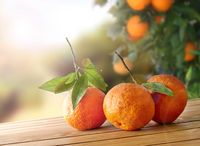Three freshly picked oranges on a wooden table in field