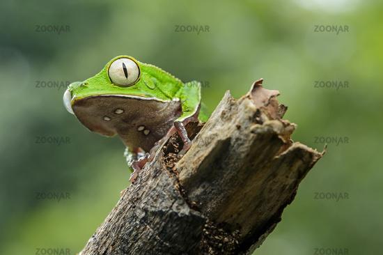White-lined leaf frog,Yasuni National Park,Ecuador