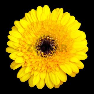 Gerbera, Afrika, Sommerblume