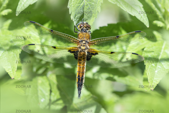 Four Spotted Chaser Dragonfly resting on a leaf