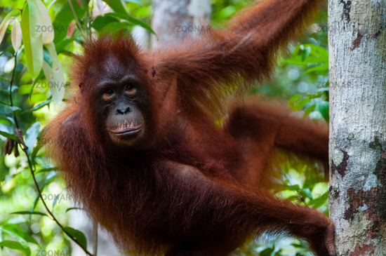 Orang Utan sitting on a tree