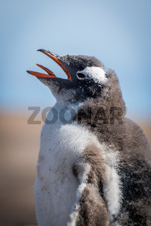 Close-up of gentoo penguin chick on beach