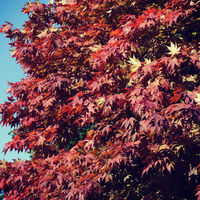 Leafs in autumn, Red and yellow leafs in the sunlight