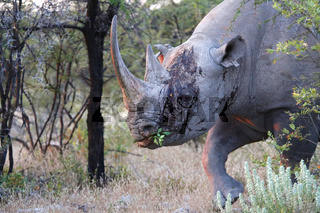 bleeding rhino at etosha
