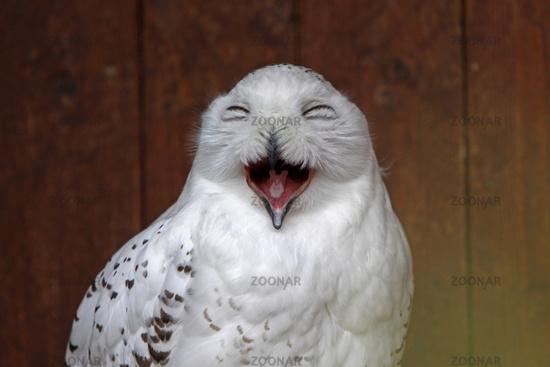 Snowy owl strangling