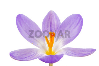 Isolated Purple Crocus Blossom