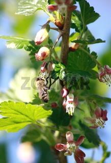 Stachelbeerblüte mit Biene