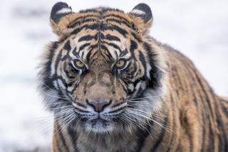 Panthera tigris altaica,Sibirischer Tiger, Amur Tiger, Siberian tiger
